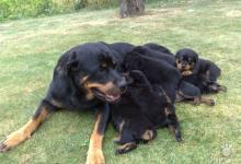 Inzercia psov: predám krásne šteniatka
