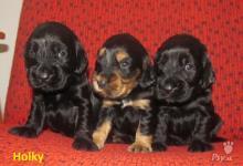 Inzercia psov: Prodám štěňátka sPP-Anglický kokršpaněl