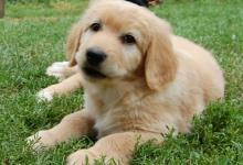 Inzercia psov: Hovawart - ideálny rodinný strážny pes