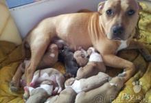 Inzercia psov: Predám Šteniatka Am. Stafordou