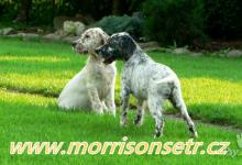 Inzercia psov: Anglický setr - milý společník