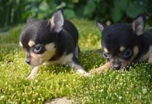 Inzercia psov: mini fenky čivavi krátkosrsté