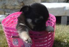 Inzercia psov: čivava dlhosrstá fenka