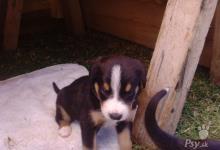 Inzercia psov: štenatka Entlebuchského salášnického psa