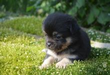 Inzercia psov: mini sučka čivavi dlhosrstej