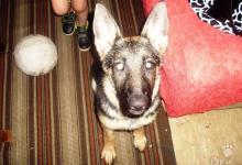 Inzercia psov: Darujem Nemeckého Ovčiaka - fenku, 6 mesiacov.