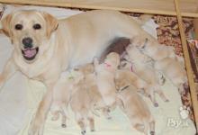 Inzercia psov: LABRADORSKÝ RETRIEVER - ŠTENIATKA