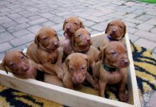 Inzercia psov: Maďarská vyžla s PP