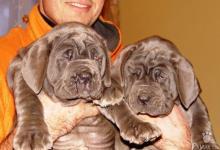 Inzercia psov: NEAPOLSKÝ MASTIN