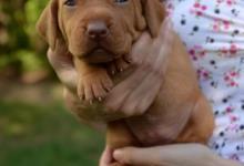 Inzercia psov: Maďarský stavač - vyžla