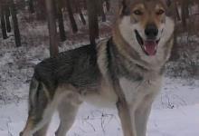 Inzercia psov: Chovný pes na predaj