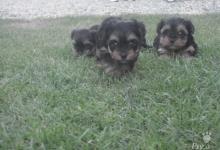 Inzercia psov: Yorksirsky terrier