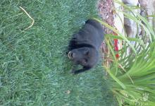 Inzercia psov: Darujem krizenca labradora
