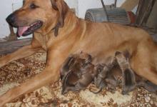 Inzercia psov: Predám šteniatka Rodenskeho ridžbeka odber po 15.9
