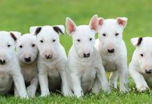 Inzercia psov: minibullterrier