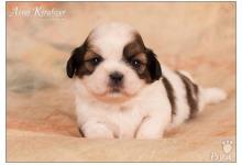 Inzercia psov: Shih-Tzu šteniatka ( shi-tzu, si-cu, si-tzu )