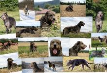 Inzercia psov: Irský vlkodav s PP