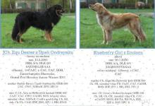 Inzercia psov: Šteniatká hovawarta s PP