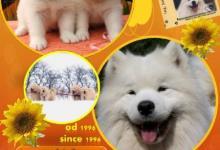 Inzercia psov: Kvalitné šteniatka SAMOJED