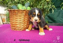 Inzercia psov: šteniatka s PP