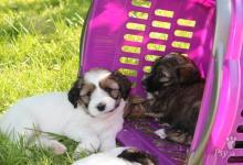 Inzercia psov: TIBETSKÝ TERIER - štěňata s PP