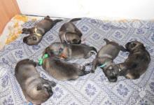 Inzercia psov: Krásná štěňata plemene Elghund s PP