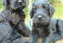 Inzercia psov: Bradáč veľký čierny - šteňatá