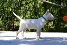 Inzercia psov: Bulterier , Bullterrier , Bull Terrier