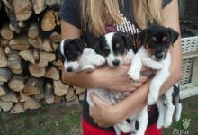 Inzercia psov: Predám šteniatka Jack Russel teriera