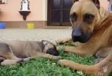Inzercia psov: Krasne steniatka-matka am.staford,otec RR