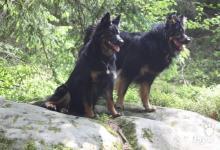 Inzercia psov: Chodský pes - štěňátka s PP