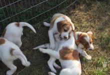 Inzercia psov: ÍRSKY ČERVENOBIELY SETER-ŠTEŇATÁ