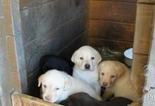 Inzercia psov: čistokrvné labradory