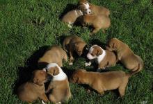 Inzercia psov: šteniatka AST