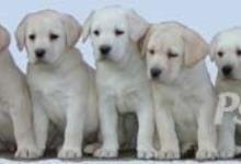 Inzercia psov: Labrador retriever