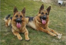 Inzercia psov: Štěnata Německý ovčák s PP,výběrový chov.