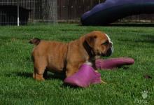 Inzercia psov: ANGLICKY BULDOG-BULLDOG-buldok