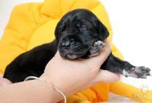 Inzercia psov: Německá doga - štěňata s PP