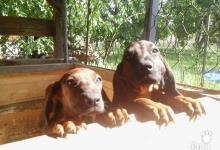 Inzercia psov: Predam steniatka Bavorskych Farbiarou bez pp