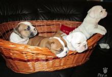 Inzercia psov: steniatka anglicky buldog