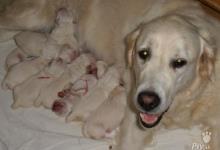 Inzercia psov: Zlatý retrívr - prodám
