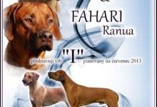 Inzercia psov: Rhodéský Ridgeback - štěně s PP