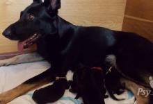 Inzercia psov: štěňátka NO s PP ( ČR )