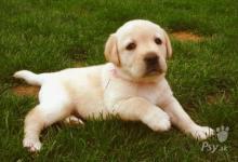 Inzercia psov: Labrador retriver