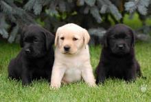 Inzercia psov: Štěňátka labradorského retrívra s PP