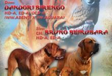 Inzercia psov: Tosa Inu – štěňata nejvyšší kvality z CHS Birengo