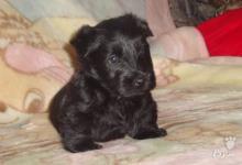 Inzercia psov: Skotský teriér - prodej štěňátek