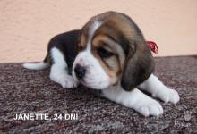Inzercia psov: Prodej štěňat Beagle s PP