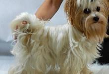Inzercia psov: Golddust Yorkshire Terrier Zlatý York,štěňata s PP