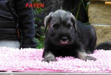 Inzercia psov: Bradáč stredný (standard) P+S